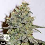 Bodhi Seeds Snow Queen