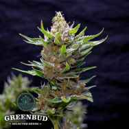 Greenbud Seeds Snow Ripper