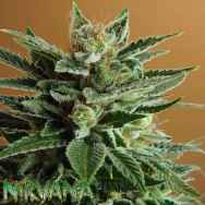 Nirvana Seeds Snow White