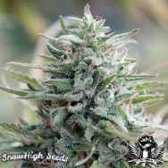 SnowHigh Seeds High Voltage