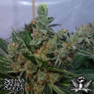 Soma Seeds White Willow