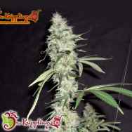 Dr. Krippling Seeds Sonic Bloom AUTO