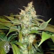 Holy Smoke Seeds Sour BlackBerry Diesel