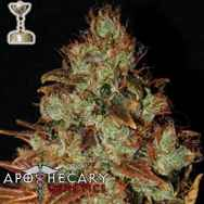 Apothecary Genetics Seeds Sour Diesel