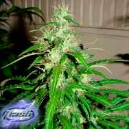 Flash Autoflowering Seeds Sour Diesel Haze