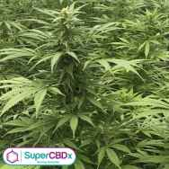 SuperCBDx Seeds Sour Diesel x SCBDX