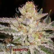 Apothecary Genetics Seeds Sour-G