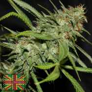 Connoisseur Genetics Seeds Sour Hazy Jones