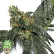 Trichome Jungle Seeds Sour Mandarina