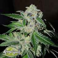Karma Squad Seeds Sour Power OG
