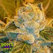 Ripper Seeds Sour Ripper