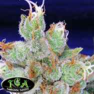 TGA Subcool Seeds SPACE JILL / Space Queen