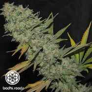 Bodhi Seeds Space Monkey