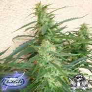 Flash Autoflowering Seeds Spacer SuperAuto F1