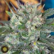 Mandala Seeds Speed Queen
