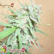 Dr. Krippling Seeds Spinning Buzz Kick AUTO