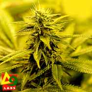 Delta 9 Labs Seeds Star of Kandahar