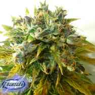 Flash Autoflowering Seeds Stardust