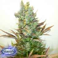 Flash Autoflowering Seeds Stitch's Love Potion