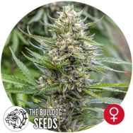 The Bulldog Seeds Strawberry Ice