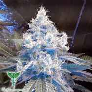 Dankonomics Genetics Seeds Strawberry Stardawg