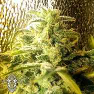 Holy Smoke Seeds Strawberry Stardawg