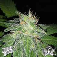 Johnston's Genetics Seeds Sugar Valley Kush