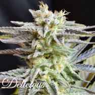 Delicious Seeds Sugar Black Rose