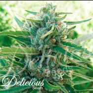 Delicious Seeds Sugar Black Rose F1 Fast Version