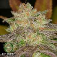 Dynasty Genetics Seeds Super Silver Blue Magoo