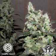 Bodhi Seeds Super Snow Lotus