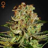 Green House Seeds Super Bud