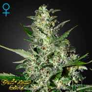Green House Seeds Super Critical AUTO