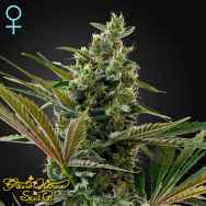 Green House Seeds Super Lemon Haze AUTO CBD