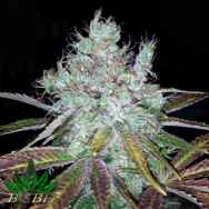 BC Bud Depot Seeds Super Lemon Jack