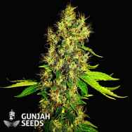 GunJah Seeds Super Shark