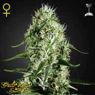 Green House Seeds Super Silver Haze