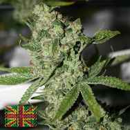 Connoisseur Genetics Seeds Super Silver Sour Diesel Haze Mix