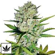 White Label Seeds Super Skunk Automatic