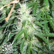 Short Stuff Seeds Super Stinky Autoflowering