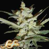 Samsara Seeds Supersonic Cristal Storm Automatic