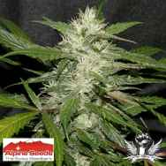 Alpine Seeds Sweet Chunk BX1