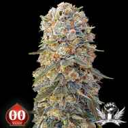 00 Seeds Sweet Critical