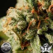 Dinafem Seeds Sweet Deep Grapefruit