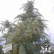 Johnston's Genetics Seeds Sweet SkunkBerry