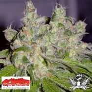 Alpine Seeds Sweet Tooth3 BX1
