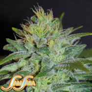 Samsara Seeds Sweet Black Angel