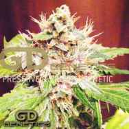 Green Devil Seeds Sweet Clements