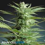Advanced Seeds AUTO Sweet Dwarf
