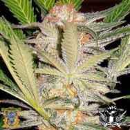 Sweet Seeds S.A.D. Sweet Afgani Delicious S1